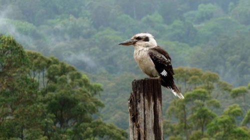 Kookaburra sits on a post